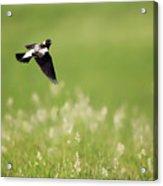 The Bobolink In Flight Acrylic Print