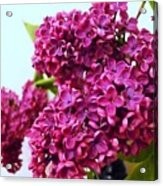The Branch Of A Purple Lilac Acrylic Print