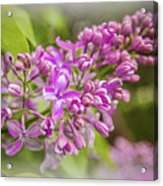 The Branch Of Lilac Acrylic Print