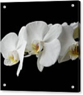 The Branch Of White Orchid On Black Background Acrylic Print