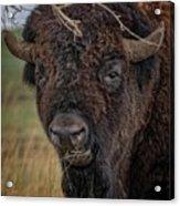 The Buffalo 2 Acrylic Print