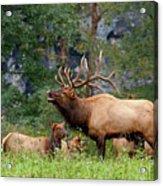 The Bugling Bull Elk Acrylic Print