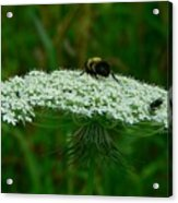 The Bumblebee And The Fly Acrylic Print
