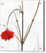 The Bunch Of Winter Rowan Acrylic Print