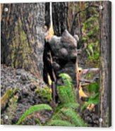 The Burly Bear Cub Close1 - Muir Woods National Monument - Marin County California Acrylic Print
