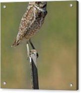 The Burrowing Owl Acrylic Print
