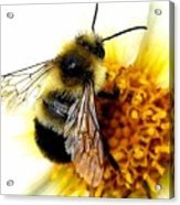 The Buzz Acrylic Print