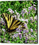 The Canadian Tiger Swallowtail Acrylic Print