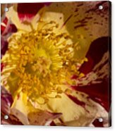 The Center Of A Rose Acrylic Print