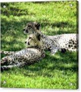 The Cheetahs Acrylic Print
