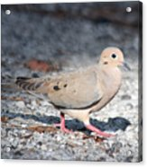 The Chipper Mourning Dove Acrylic Print