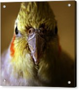 The Cockatiel Acrylic Print