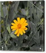 The Color Of  A Unike Flower Acrylic Print