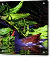 The Common Gallinule Acrylic Print
