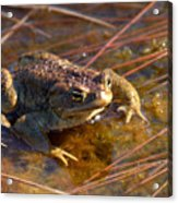 The Common Toad 1 Acrylic Print