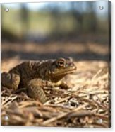 The Common Toad 4 Acrylic Print