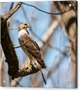 The Cooper's Hawk Acrylic Print