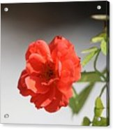 The Coral Rose Acrylic Print