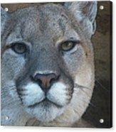 The Cougar 3 Acrylic Print