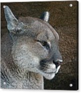 The Cougar Acrylic Print
