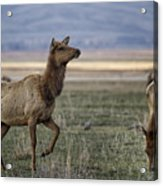 The Cow Elk Acrylic Print