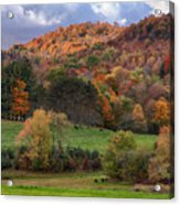The Cows Are In The Dell  Acrylic Print