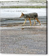 The Coyote - Dogs Are By Far More Dangerous Acrylic Print