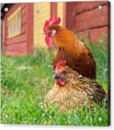 The Curious Cock And The Jealous Hen In The Mystery Of The Black Feather Acrylic Print