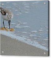 The Curious Little Sanderling 1 Acrylic Print