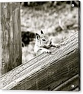 The Curious Squirrel Acrylic Print
