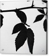 The Darkest Leaf Acrylic Print