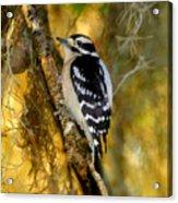 The Downy Woodpecker Acrylic Print