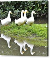 The Duck Gang Acrylic Print