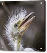 The Eager Great Egret Chick Acrylic Print