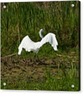 The Egret Has Landed Acrylic Print