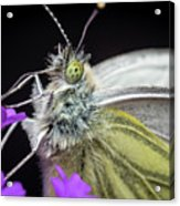 The Eye Of The Green-veined Butterfly. Acrylic Print