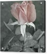 The Faded Rose Acrylic Print