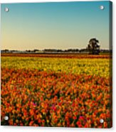 The Field Of Flowers Acrylic Print
