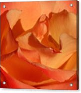 The Final Rose Of Summer Acrylic Print