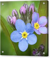 The First Blossom Of The Forget Me Not Acrylic Print
