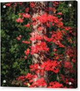 The First Maple Of Autumn Acrylic Print