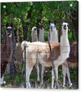 The Five Llamas Acrylic Print