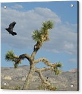 The Flight Of Raven. Lucerne Valley. Acrylic Print