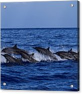 The Flight Of The Spinner Dolphin Acrylic Print