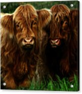 The Fluffy Cows Acrylic Print