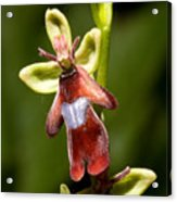 The Fly Orchid Acrylic Print