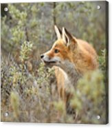The Fox And Its Prey Acrylic Print