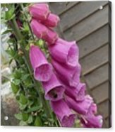 The Foxglove And The Bumble Bees Acrylic Print