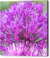 The Full Bloom Of Flowering Ornamental Onion Acrylic Print