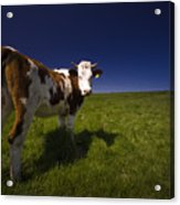 The Funny Cow Acrylic Print